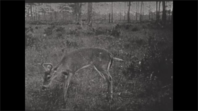 1930s: Dear eats grass in wetland clearing. Seminole Indian hunter levels rifle and fires.