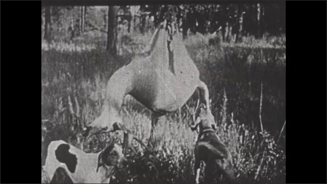 1930s: Herd of deer run through wetland forest. Dogs sniff dead deer hanging on tree.