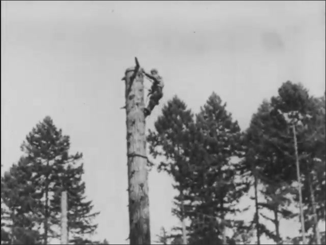 1930s: Branch falls from high tree where man chops. Tree trunk breaks in half where man chops. Man sways at top of trunk. Man hacks tree in half. Man saws tree trunk. Tree trunk breaks, man sways.