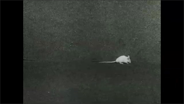 1930s: White mouse walks near walls in small box. Mouse hugs wall and explores area.