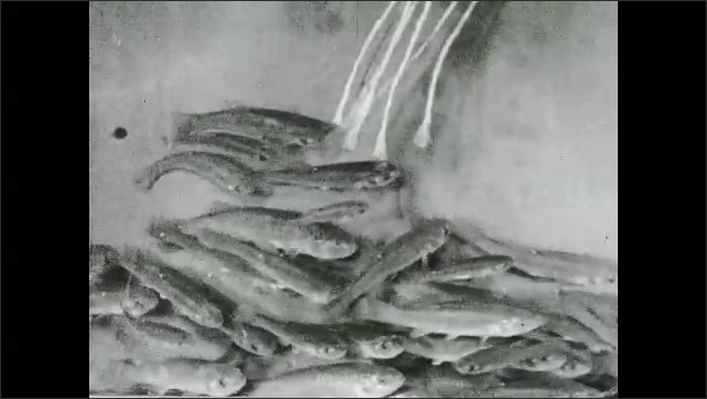 1930s: Direction of current is switched. Fish change direction in tank.