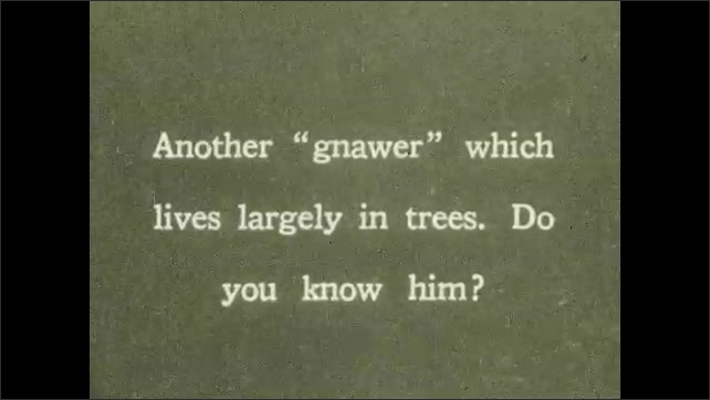 1930s: UNITED STATES: child runs through woods. Squirrel in tree. Squirrel eats with food in paws.