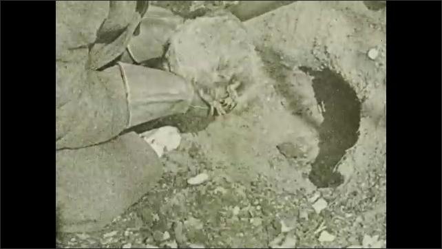 1930s: UNITED STATES: man picks up hibernating animal from burrow.