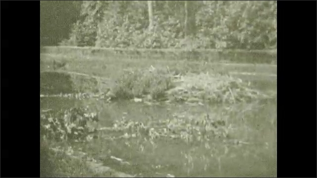 1930s: UNITED STATES: otters on log in water. Otter swims up river. Family of beavers cut trees in water.