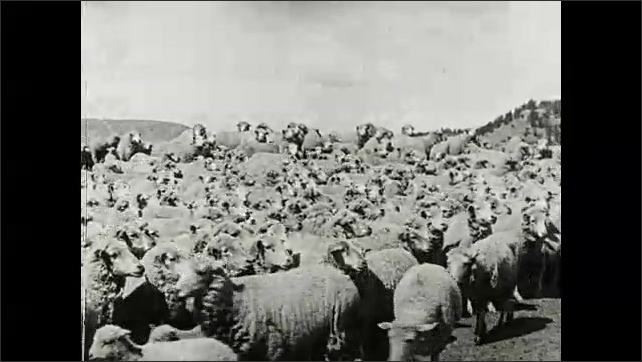 1930s: Herd of sheep drink and run through fence.  Man herds livestock.