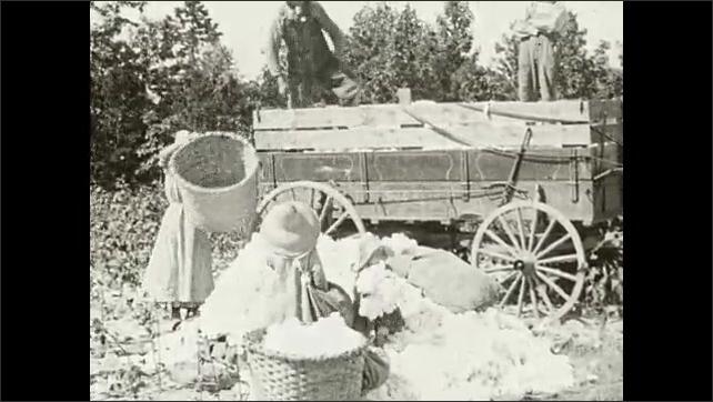 1930s: Women tie up bundle of cotton.  Men dump baskets of cotton into truck.  Men stomp on cotton.  Children stuff cotton into bag.  Horses pull wagons.