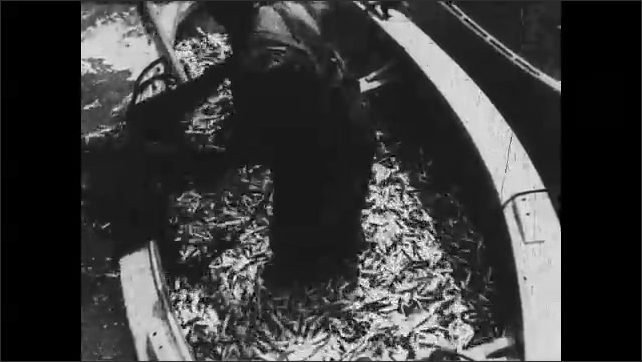 1930s: CANADA: fisherman pulls sardines into skiff. Boat filled with fish. Fish in net