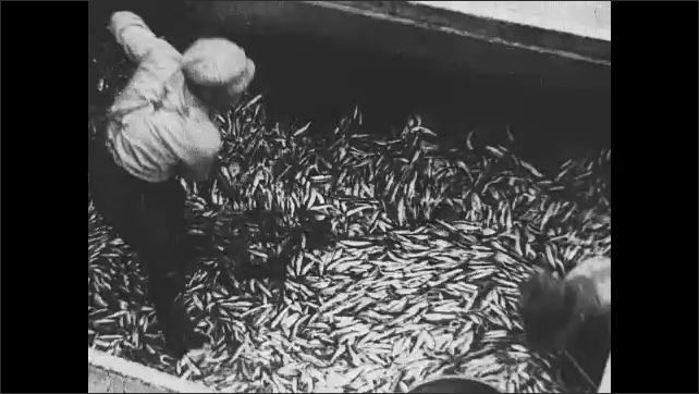 1930s: CANADA: man fills bucket with fish. Fishermen unload sardines at cannery.