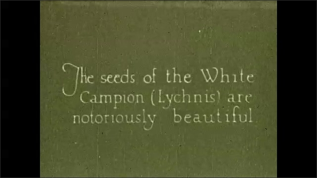 1930s: UNITED STATES: White Campion seeds (Lychnis). Seeds under microscope.