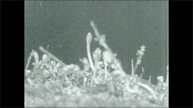 1930s: Close up, time lapse of plants sprouting.
