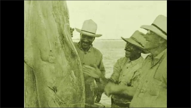 1930s: Men pull shark from net and hang it up. Sometimes sharks get caught in the net. Man reaches into water.