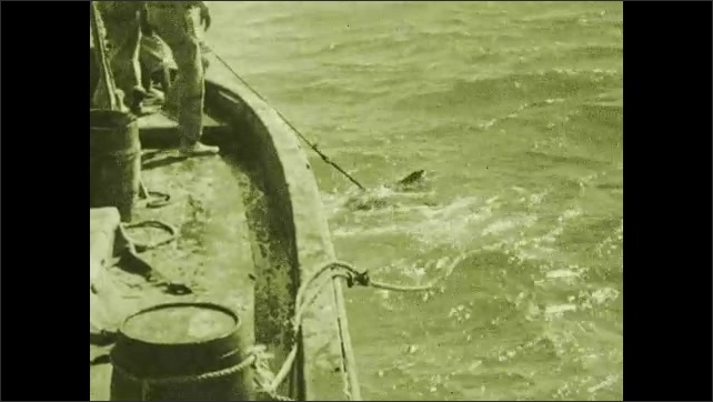 1930s: Shark flails at side of boat. Man reaches into water.