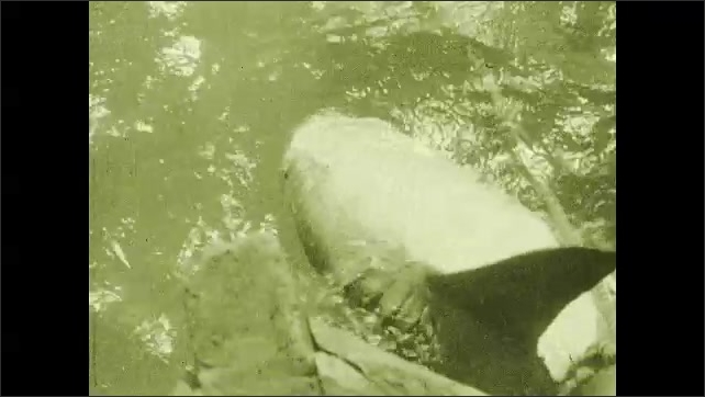 1930s: Man reaches into water. Shark hooked in the mouth.