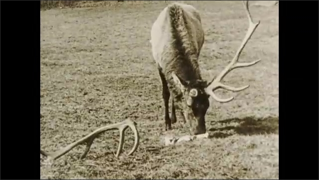 1930s: Elk charges at man. Elk loses one antler, grazes on grass. Intertitle card.