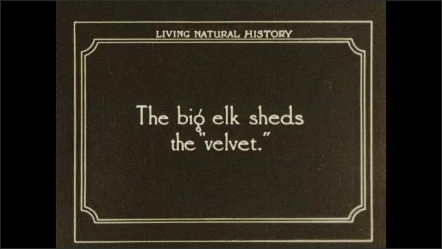 1930s: Man pulls pieces off antlers. Intertitle card. Man feeds elk through fence. Elk sheds velvet on antlers.