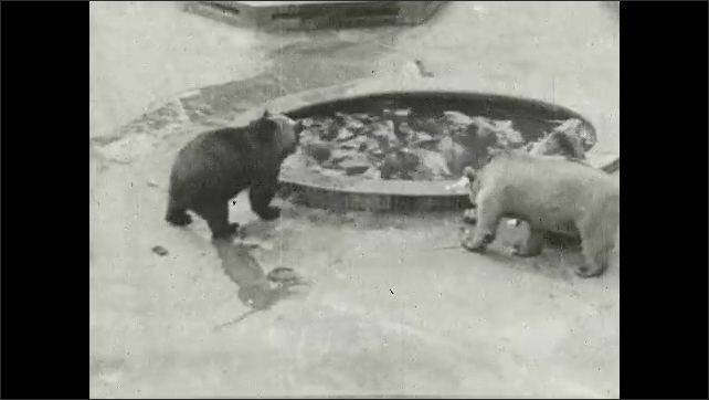 1930s: UNITED STATES: bears eat fish in pool of water. Dead fish land in pond. Bears take fish.
