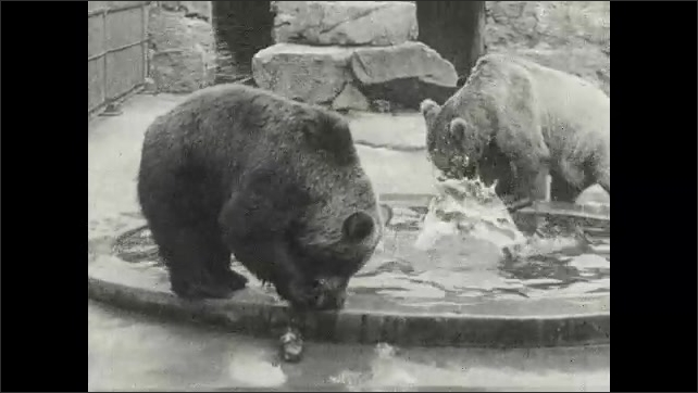 1930s: UNITED STATES: bears at zoo in enclosure. Bears take dead fish from pool of water. Bears in captivity