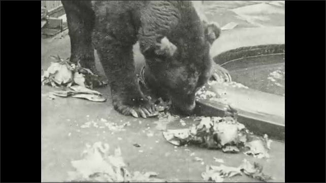 1930s: UNITED STATES: zoo bears in enclosure. Bear eats meat. Bear eats fish on ground