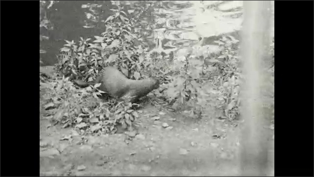 1930s: UNITED STATES: otter climbs out of river. Otter by river. Otter with fish
