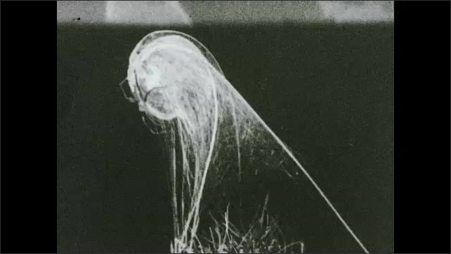 1930s: Baby spiders. Cross section of baby spiders in web.