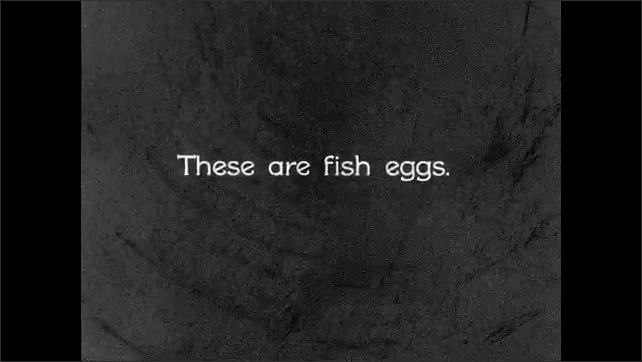 1930s: UNITED STATES: close up of fish eggs. Fish eggs in fish hatchery. Replacement of fish stocks. Fish eggs in container. Fish in water.