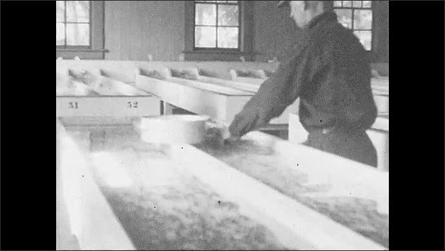 1930s: UNITED STATES: small fry in hatchery. Man catches fish in net. Baby fish in bucket.