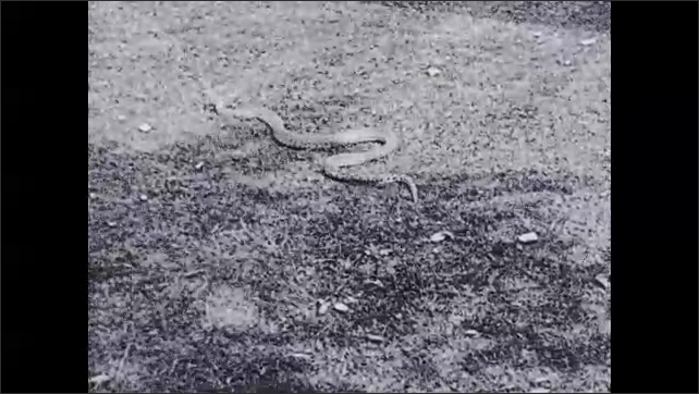 1930s: Snake slithers through grass.