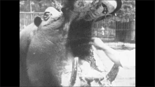1930s: Hippo chews food at zoo. Hand removes debris lodged in hippos open mouth. Hippo runs across zoo enclosure.
