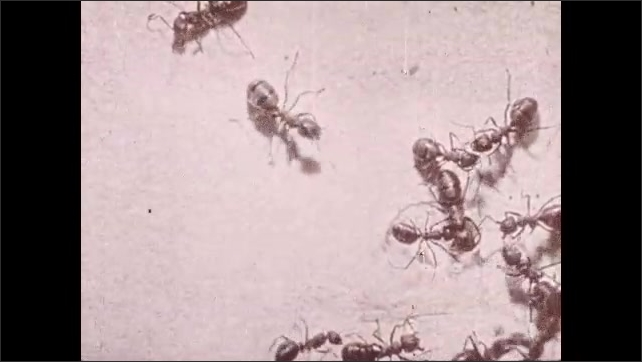 1930s: UNITED STATES: overhead view of ants using feelers and cleaning heads.