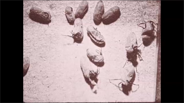 1930s: UNITED STATES: young ants hatch from cocoons.