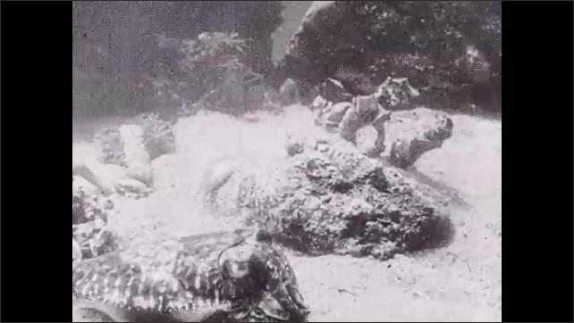 1930s: Cuttlefish swimming around on ground, underwater.