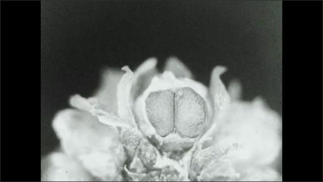 1930s: Flower on plant begins to shrink inward.