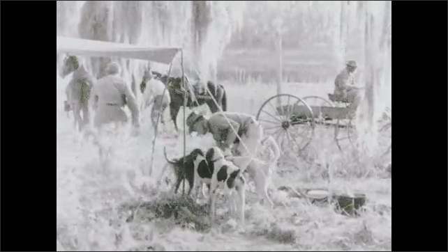1930s: Hunters stand and walk towards horses. Man wrangles pack of hunting dogs at campsite.