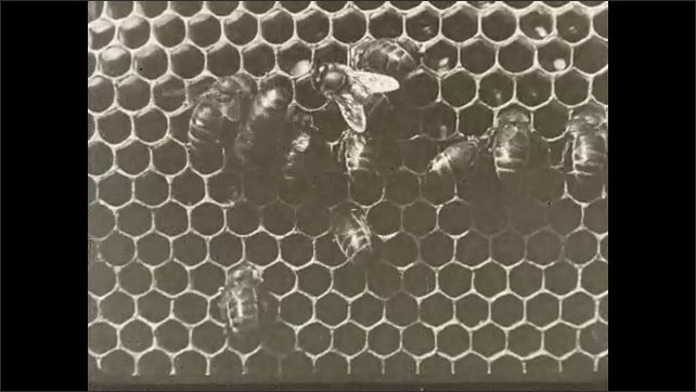 1930s: Bees climb over honeycomb in hives Text placard.