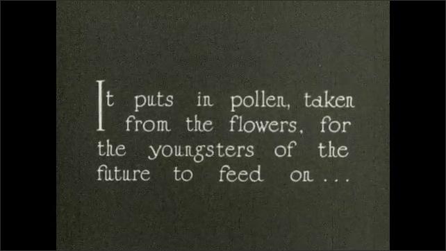 1930s: Bee places pollen in wax chamber in corner of box. Text placard. Bee places pollen in wax chamber in corner of box.