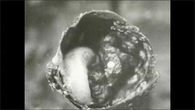 1930s: Bee larva sits in leaf and wax chamber. Aphids crawl around larva in the interior of birth chamber.