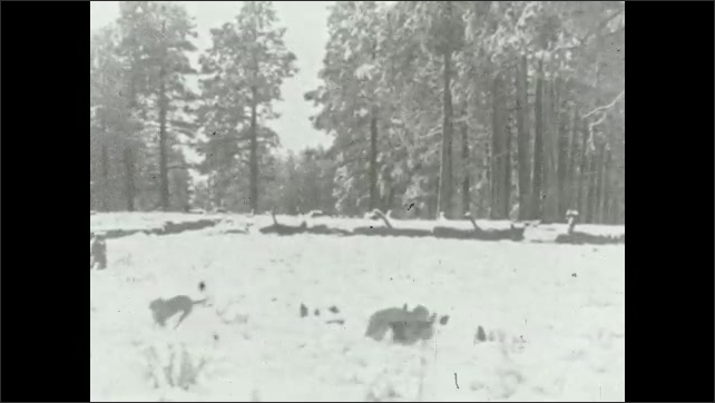 1930s: Man reading book with kids. Dogs barking at lynx in woods. Dog running through woods.