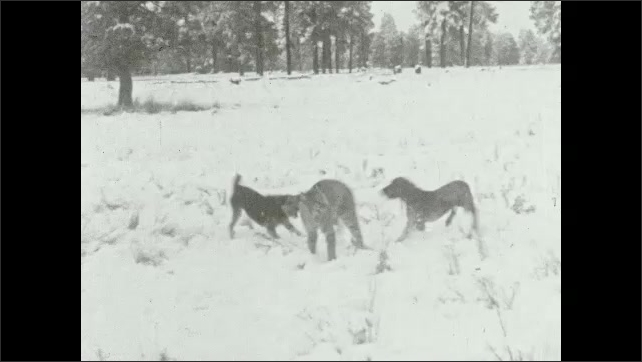 1930s: Man and woman running through woods. Dogs barking at lynx.
