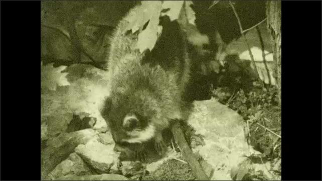 1930s: Raccoon explores woods.