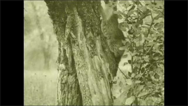 1930s: Raccoon climbs tree. Raccoon climbs down tree and into hollow of trunk.