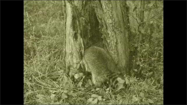 1930s: Raccoon explores hollow tree trunk. Fishing.