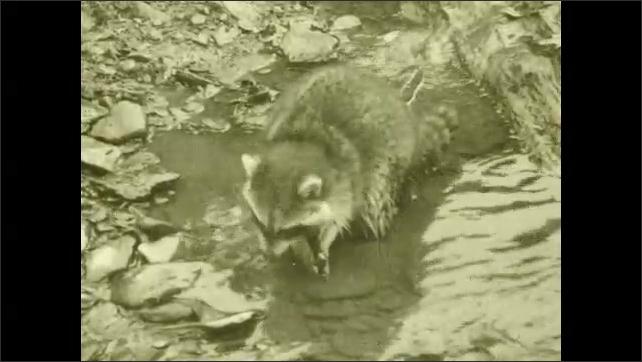 1930s: Raccoon digs in water. Raccoon eats. Raccoon walks away.