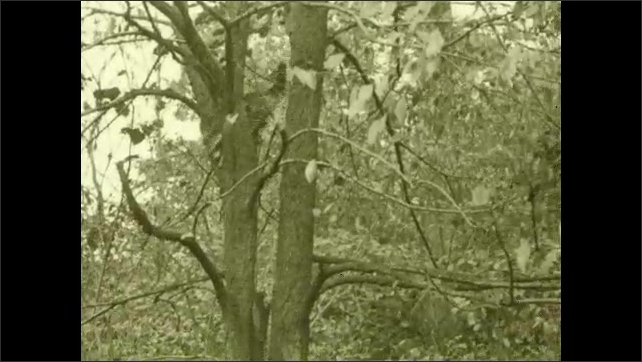 1930s: Raccoon climbs down tree trunk. Raccoon climbs up tree.