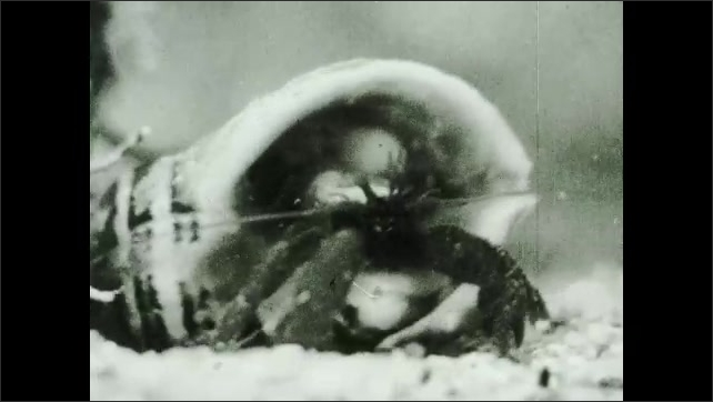 1930s: UNITED STATES: hermit crab comes out of shell. Eyes on hermit crab. Crab walks about with shell.