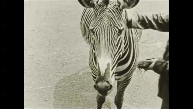 1930s: Man and zebra walk together then stop. Title card.