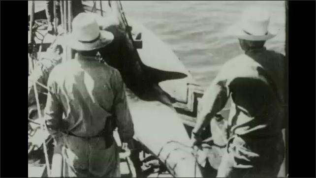 1930s: Men on boat pull caught, large shark onto boat. Men examine shark's mouth.