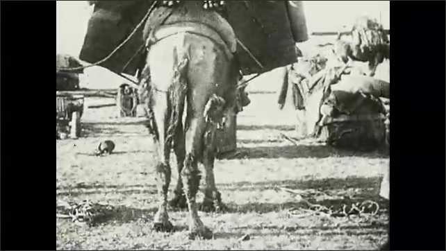 1930s: Camels sit on ground with unloaded cargo surrounding them. Men motion for camels to stand up. Camel loaded with supplies, stands.