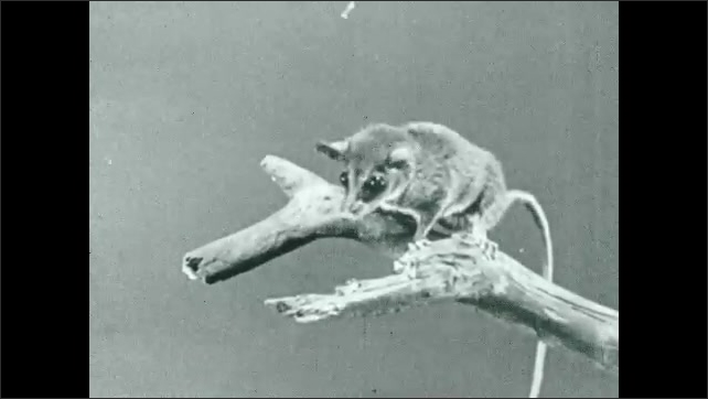 """1930s: Pygmy opossum perches at the top of a branch sniffing and searching for food. Interitle """"Curious feet like the hands of a monkey""""."""