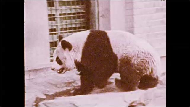 1970s: UNITED STATES: ladies walk together in China. Panda eats bamboo, Panda at zoo. Crowd watch panda. Toy rocking horse.