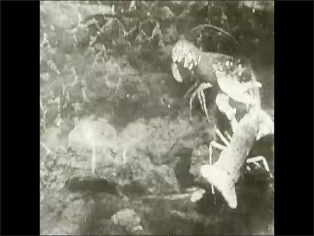 1930s: Shellfish fight on sea floor.